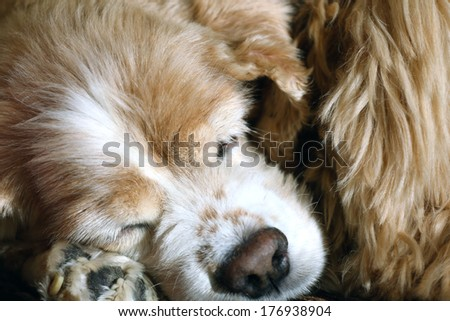 American Cocker Spaniel sleeps, close-up