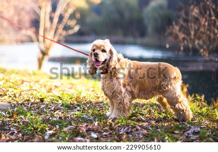 American Cocker Spaniel standing near lake  - stock photo