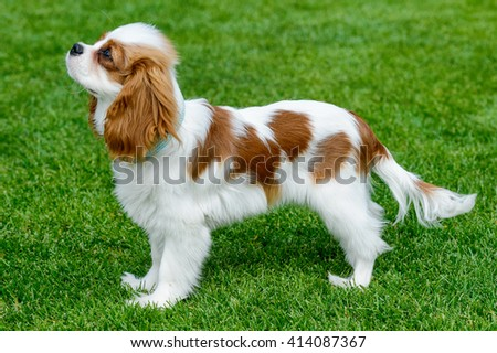 American cocker spaniel standing on green field.
