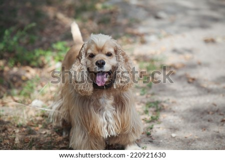 American cocker spaniel stuck out his pink tongue on a walk in the autumn park - stock photo