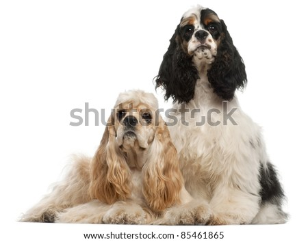 American Cocker Spaniel, 1 year old, and American Cocker Spaniel puppy, 6 months old, in front of white background
