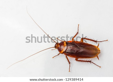 American cockroach - Periplaneta Americana isolated on white - stock photo