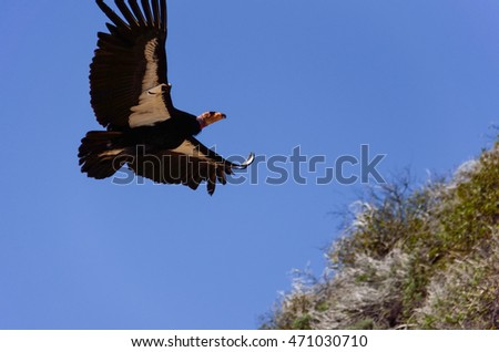 American Condor spotted above Route 1 (SR 1) near Big Sur, California, USA. A rare and endangered species of birds.