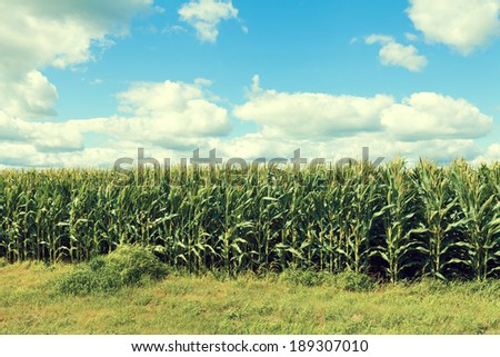 American Corn Field With Blue Sky - stock photo