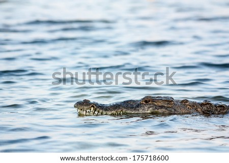 american crocodile - stock photo