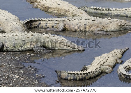American crocodile (Crocodylus acutus) in the Tarcoles River, Costa Rica - stock photo