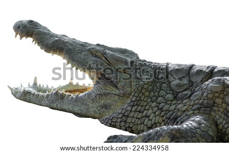 American crocodile with open mouth on an isolated white background - stock photo