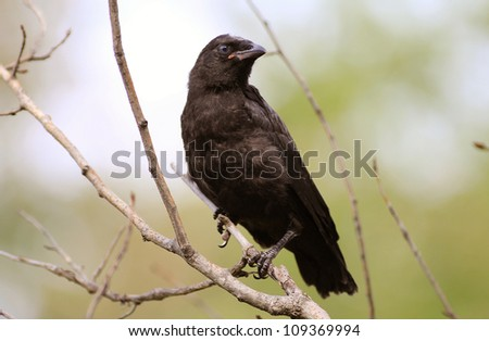 american crow - stock photo
