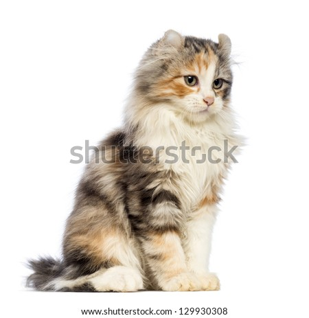 American Curl kitten, 3 months old, sitting and looking away in front of white background