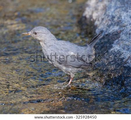 American Dipper (Cinclus mexicanus) standing in a stream - stock photo