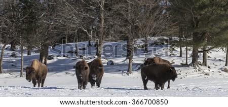 American Field Buffalo in winter - stock photo