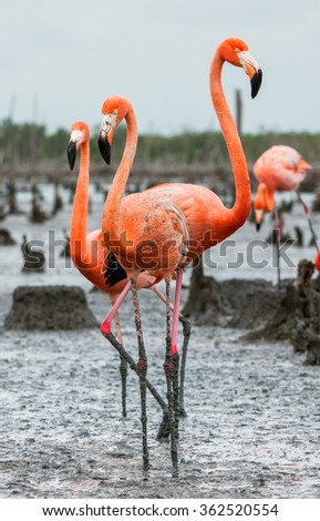 American Flamingos or Caribbean flamingos ( Phoenicopterus ruber ruber). Colony of Great Flamingo the on nests. Rio Maximo, Camaguey, Cuba.  - stock photo