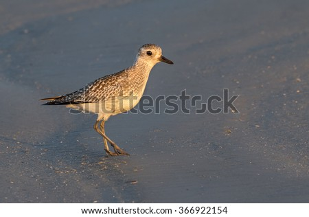 American golden plover (Pluvialis dominica), non-breeding plumage, on the ocean beach at sunrise, Galveston, Texas, USA