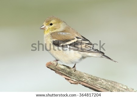 American Goldfinch (Carduelis tristis) perched on a branch with a light background in winter - stock photo