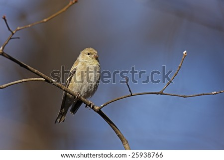 American Goldfinch (Carduelis tristis tristis), female in winter plumage in the Ramble in New York's Central Park