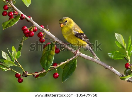 American Goldfinch perched on a branch with a greenish background