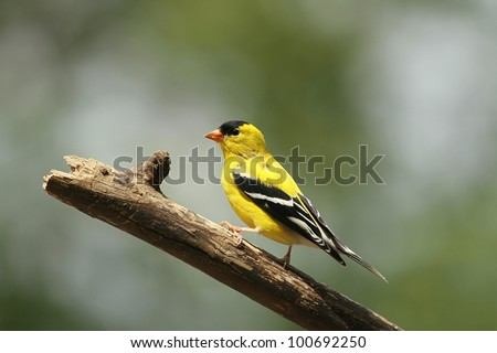 American Goldfinch that arrived at my feeder in Missouri today. - stock photo