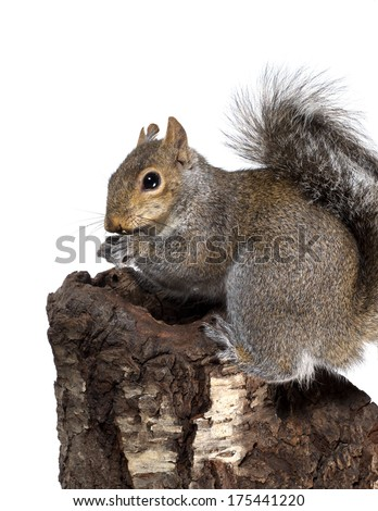American gray squirrel on a stump something gnaws