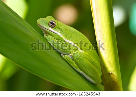 American Green Tree Frog rests on a leaf in a garden