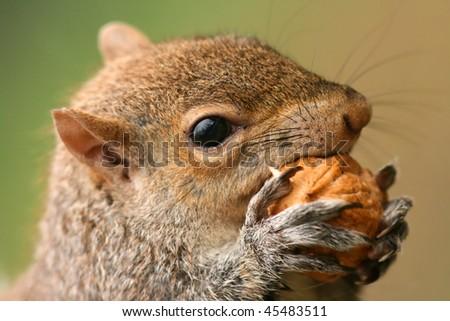 American grey squirrel, Sciurus carolinensis, portrait eating a nut - stock photo
