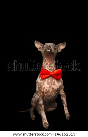 American Hairless Terrier Wearing Fancy Red Bowtie