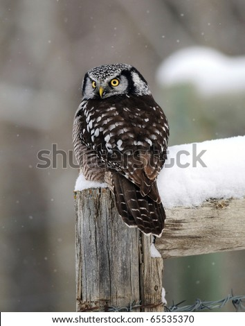 American Hawk Owl Perched on Fence Post in Winter Snow