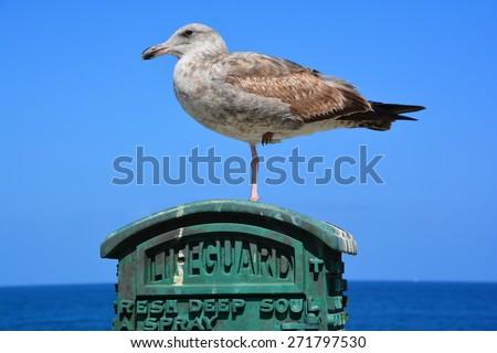 American Herring Gull standing on lifeguard emergency Box - stock photo
