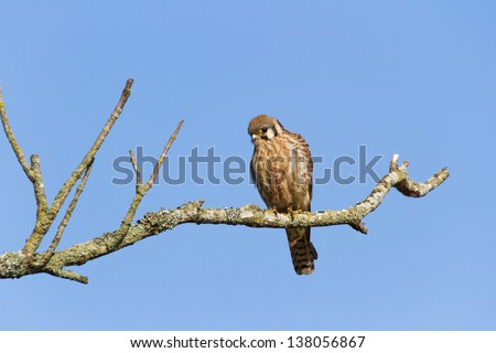 American Kestrel, bird of prey