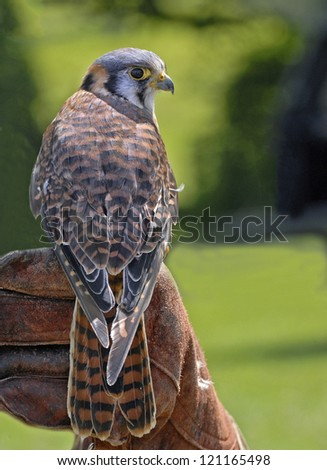American kestrel on falconer's glove