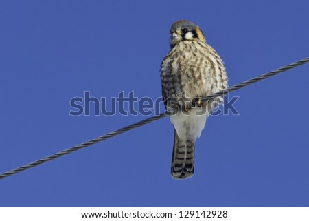 American Kestrel perched on a hydro wire. - stock photo