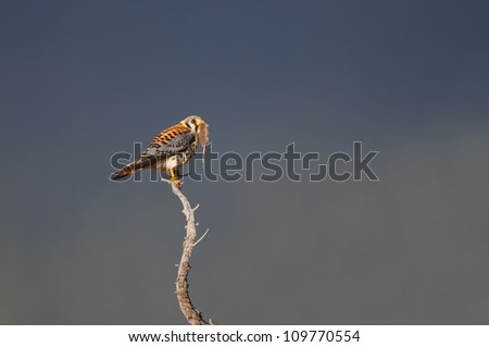 American Kestrel with prey.