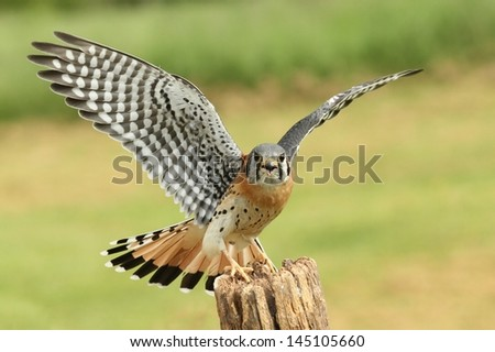 American Kestrel with wings ready for flight - stock photo