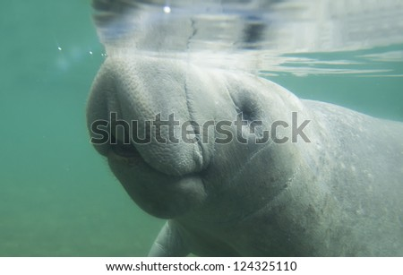 American manatee came up to get some air - stock photo