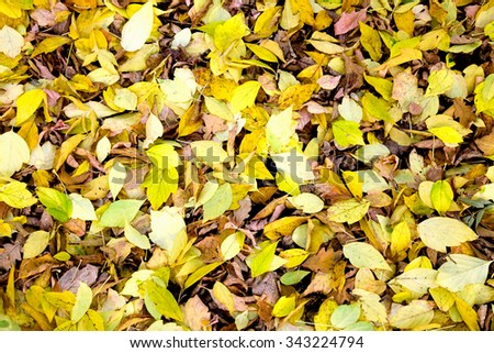 American maple leaves covering the ground - stock photo