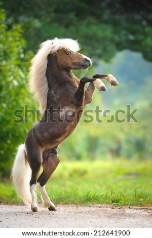 American Miniature Horse rearing up, summer - stock photo