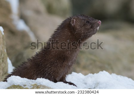 American Mink looking up into the sky for potential danger. - stock photo