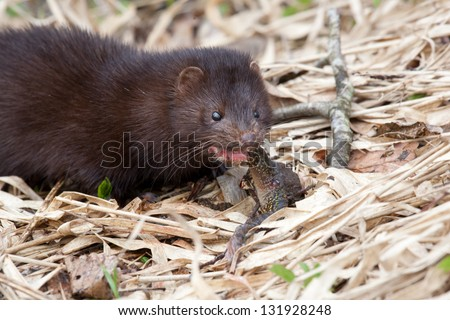 American Mink (Mustela vision) eating frog close-up - stock photo