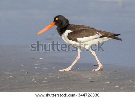 American oystercatcher (Haematopus palliatus) on the ocean coast, Galveston, Texas, USA.
