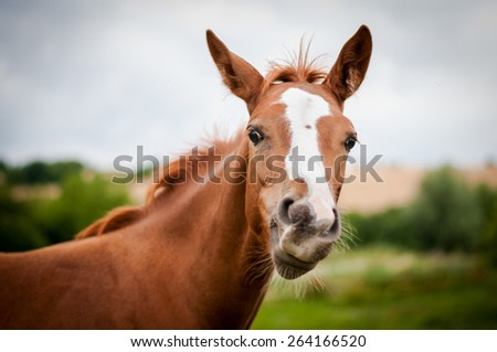 American Paint Horse filly - stock photo