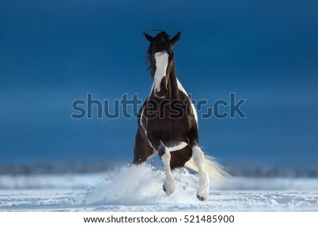 American Paint horse on snowfield. Front view.