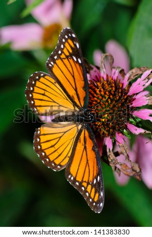 AMERICAN PAINTED LADY BUTTERFLY ON A  CONE FLOWER