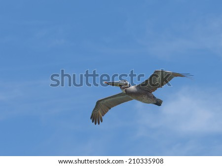 American Pelican in flight against a blue sky - stock photo