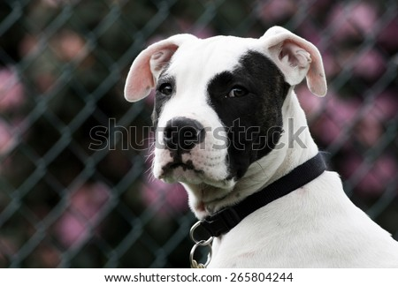 American Pit Bull Puppy Against Fence with Flowers - stock photo