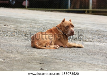 American Pit Bull Sleeping on Cement Floor. - stock photo