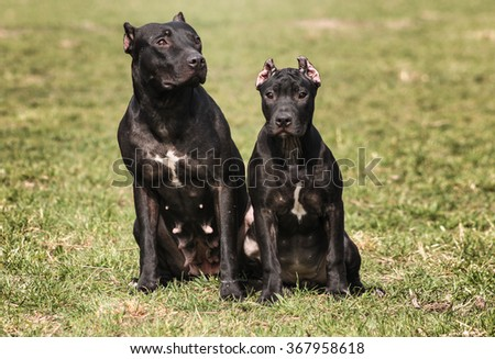 American Pit Bull Terrier - stock photo