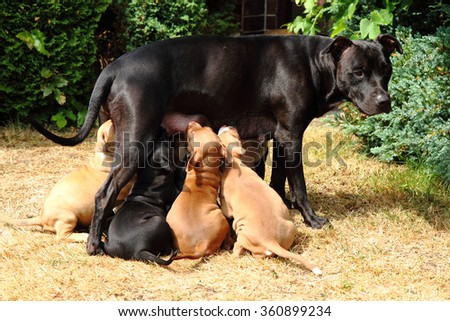 American Pit Bull Terrier as dog mother, big family - stock photo