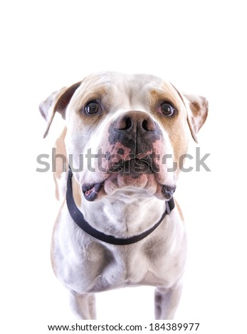 American Pit Bull Terrier looking up head shot isolated on white background