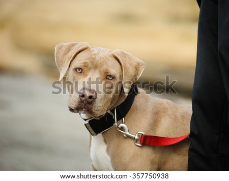 American Pit Bull Terrier on leash with handler - stock photo