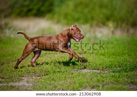 american pit bull terrier puppy - stock photo