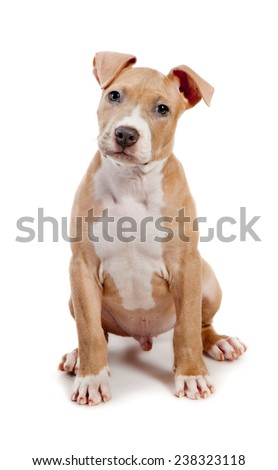 American Pit Bull Terrier puppy isolated on white - stock photo